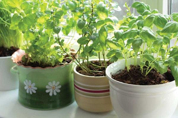 Thật đơn giản để trồng rau gia vị trong nhà