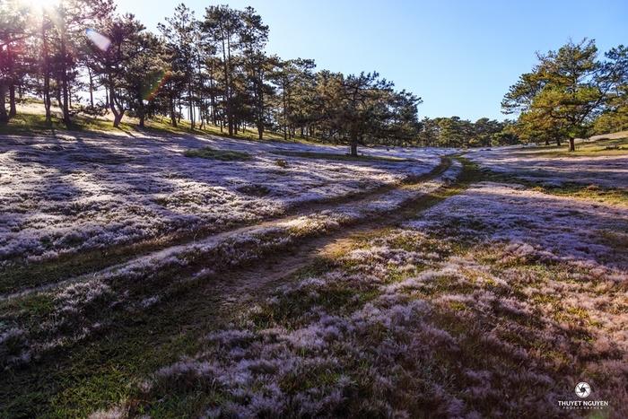 Ngẩn ngơ cánh đồng cỏ tuyết đẹp như tranh ở Đà Lạt