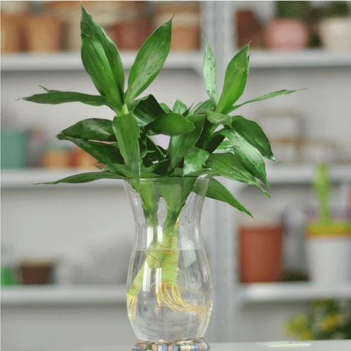 12 con giáp trồng cây gì trong nhà để phát tài ?