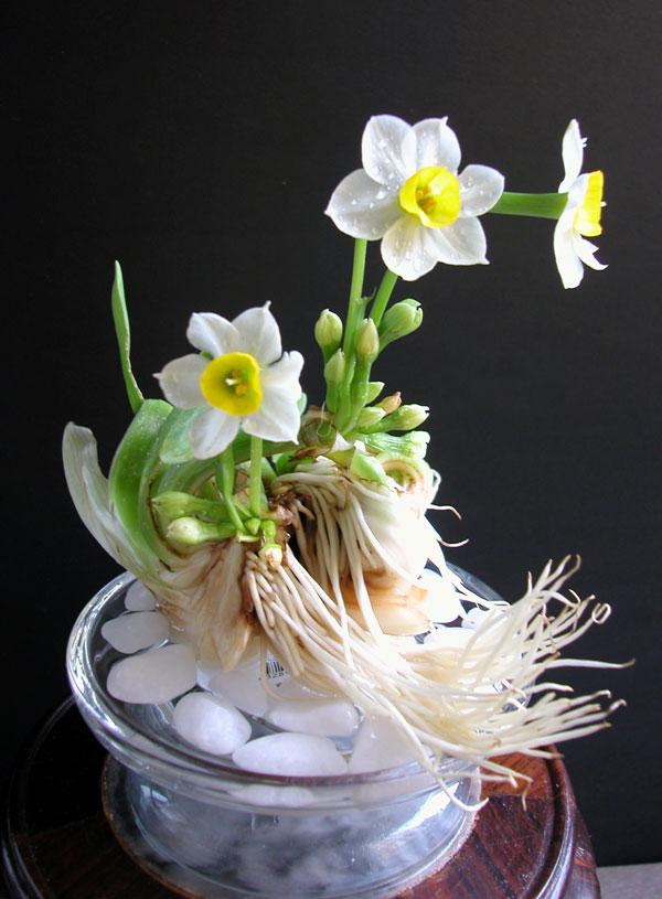 Trồng hoa phong thủy nào gì để trang trí nhà Tết Đinh Dậu 2017?