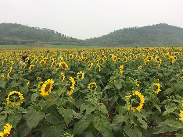Một bước tới thiên đường hoa mặt trời đẹp nhất Việt nam