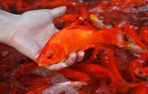 Lưu ý cách chọn cá chép cúng ông Công ông Táo