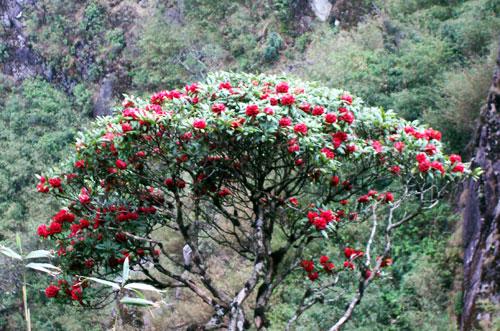 Tham dự lễ hội hoa đỗ quyên tại Sapa vô cùng độc đáo từ 31/3 - 9/4/2017