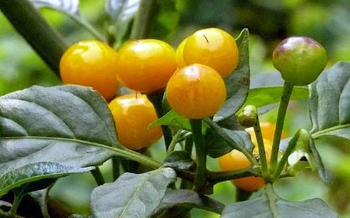 Ớt charapita là loại ớt đắt nhất thế giới. Ảnh: warosu
