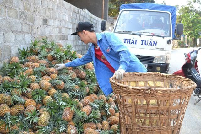 lao-cai-doanh-nghiep-mua-hang-tram-hecta-dua-thoi-ve-nghien-cuu