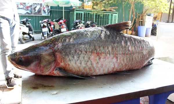 ca-tram-den-khung-nang-42-kg-tu-yen-bai-ve-ha-noi