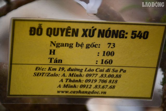 ngam-cay-do-quyen-xu-nong-400-nam-tuoi-co-gia-gan-1-ty-dong-tai-ha-noi