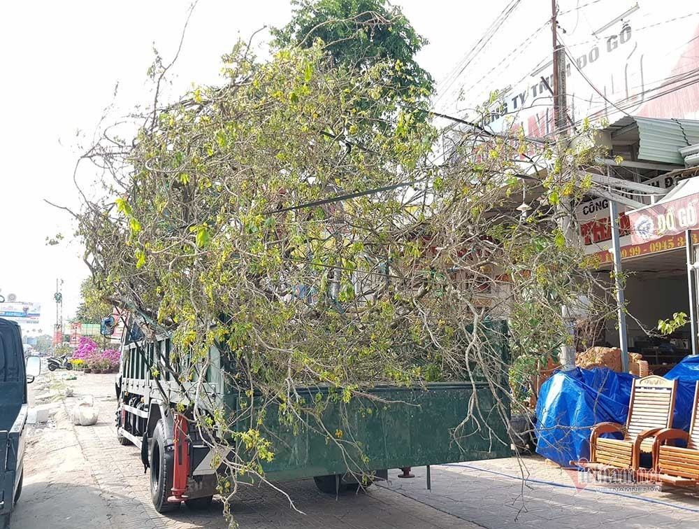 can-canh-cu-mai-vang-tram-tuoi-duoc-rao-ban-voi-gia-24-ty-dong-o-can-tho