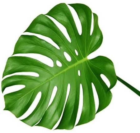 Lá trầu bà là một trong những loại lá cây chữa sỏi thận rất hiệu quả