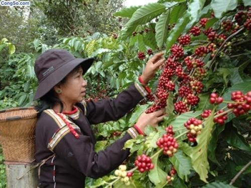 Cũng như các tỉnh Tây nguyên, với lợi thế vùng đất đỏ bazan màu mỡ, có những ưu thế đặc trưng về điều kiện tự nhiên thuận lợi cho trồng và phát triển cây cà phê. Diện tích trồng là 75.946 ha, chiếm 59% tổng diện tích trồng cây công nghiệp lâu năm và tổng sản lượng hàng năm đạt 138.521 tấn (cà phê nhân). Vùng đất Đắk Nông không chỉ là nơi cây cà phê sinh trưởng tốt mà còn tạo nên những hạt cà phê có chất lượng cao, hương vị khác biệt so với những vùng khác, nổi tiếng là cà phê vối (Robusta). Cà phê Đức Lập – Đắk Mil là thương hiệu lâu đời và uy tín nhất của Đắk Nông.