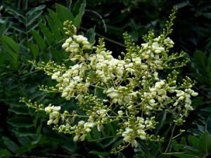 Vỏ quýt, hoa hòe có tác dụng tốt trong việc điều trị bệnh viêm khớp