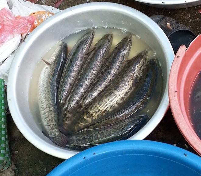 Phân biệt cá quả Trung Quốc và Việt Nam thông qua hình dạng và chất lượng của cá