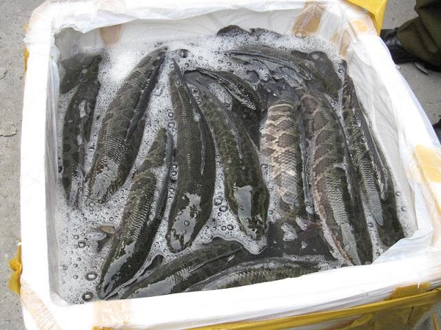 Người tiêu dùng nên biết cách phân biệt cá quả Trung Quốc