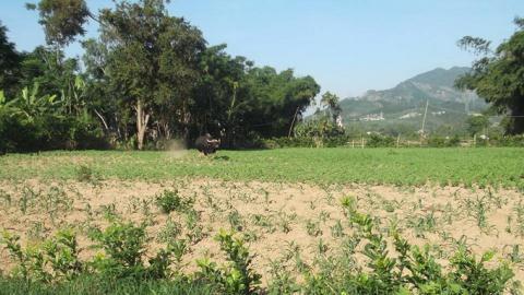 Bò tót húc chết người ở Quảng Nam