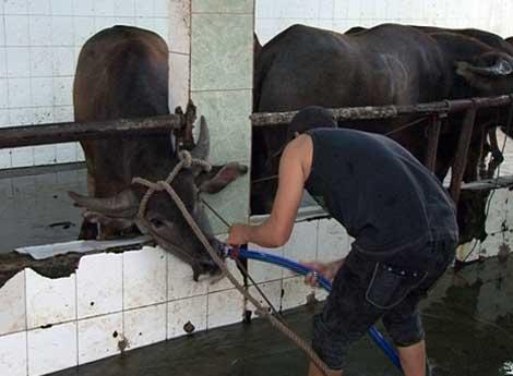 Bơm nước vào bò trước khi giết mổ làm tăng trọng đáng kể