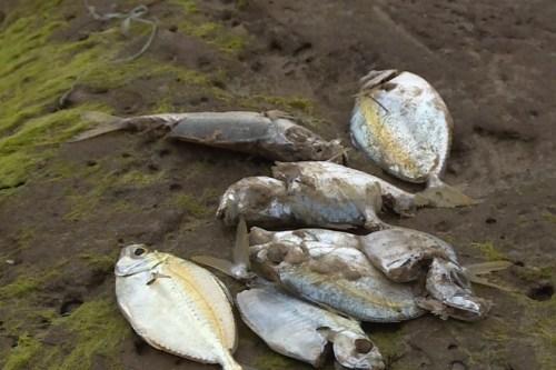Cá nhiễm độc đang là mối lo ngại của nhiều người