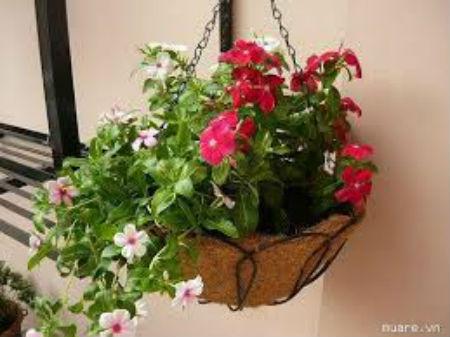 Mẹo phong thủy: Trồng cây này trong nhà giúp gia chủ may mắn và giàu có