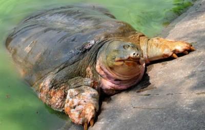 Mỗi lần cụ Rùa hồ Gươm nổi lên đều gắn với sự kiện trọng đại của đất nước