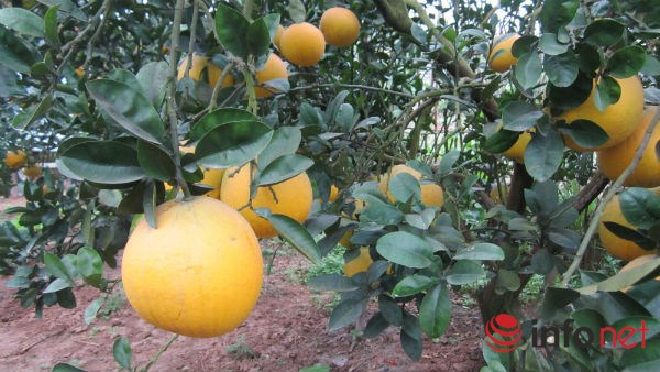 Bưởi trồng trong đất thổ cư, trong vườn nhà có thể lên tới 100.000 đồng/quả