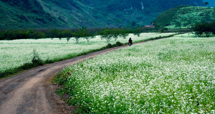 Một trong những địa điểm du lịch Tết được nhiều người lựa chọn là Mộc Châu