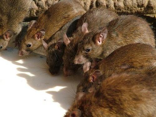 chuột mang mầm mống bệnh dịch hạch