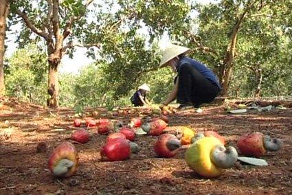 Nông dân từ bỏ điều vì lợi ích kinh tế thua kém các loại cây trồng khác