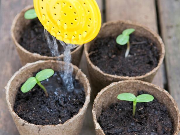 Tưới nước đều đặn là yếu tố quan trọng nhất trong công đoạn thứ 3 của quy trình kỹ thuật trồng hoa