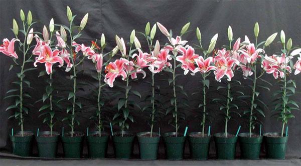 Công đoạn chăm sóc là công đoạn không thể thiếu trong quy trình kỹ thuật trồng hoa ly