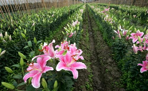 Nắm được kỹ thuật trồng hoa ly đúng chuẩn sẽ giúp người trồng hoa có được những bông hoa rực rỡ nhất