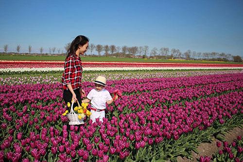 Chị Lips chia sẻ, đây là loại hoa có thế mạnh trong vườn nhà chị và nơi chị ở. Mỗi mùa tulips tới, chị thường chở con trai nhỏ trên chiếc xe đạp cùng chiếc giỏ xe đi loanh quanh trong làng bứt những bông hoa tulips cũ còn lại trên đồng cỏ hoặc những cánh đồng người nông dân đã cắt hoa  cho củ phát triển để xuất khẩu. Chị cũng thường mang những bông hoa còn lại đó về cắm khắp nơi.