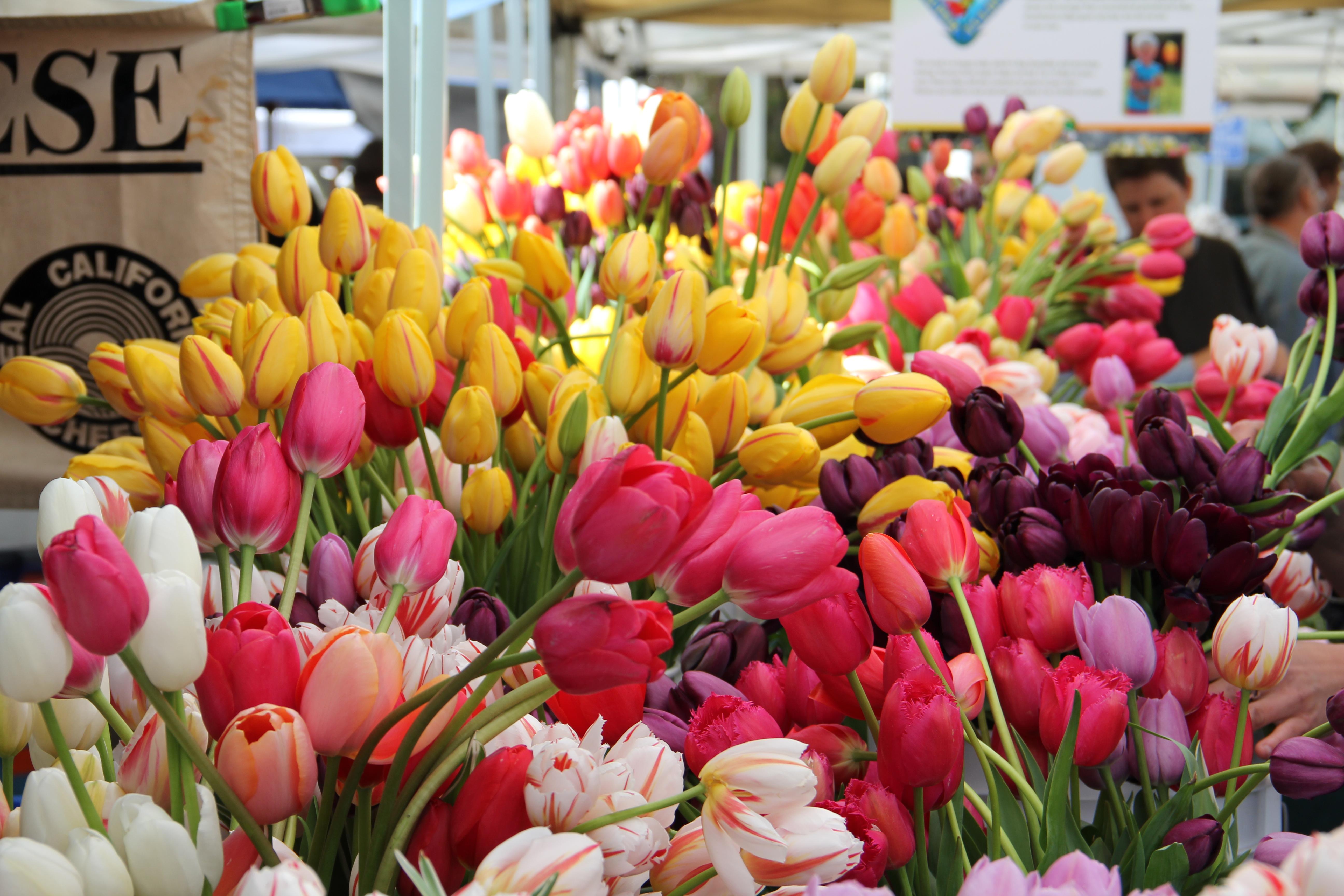 Nắm vững kỹ thuật trồng hoa sẽ giúp người trồng hoa có được những bông tulip rực rỡ nhất