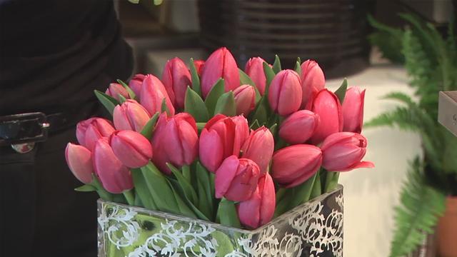 Bên cạnh kỹ thuật trồng hoa, điều kiện tự nhiên cũng là những yếu tố quan trọng để có chậu hoa tulip đẹp