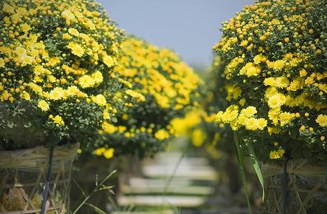 Chỉ cần nắm được kỹ thuật trồng là có thể trồng hoa cúc để trang trí nhà cửa đón tết