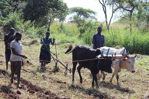 Chị Grace cùng 2 chú bò cải thiện năng suất nông nghiệp và gia tăng kinh tế