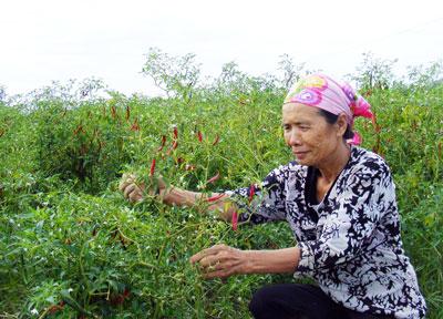Cay đắng vì cả ruộng trồng ớt Trung Quốc không bán được