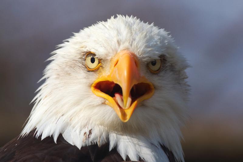 Các nhà khoa học đã tiến hành nghiên cứu gen của các loài chim hiện đại nhằm lý giải tại sao loài chim không có răng