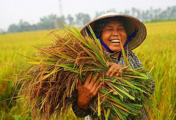 Giá lúa gạo mua vào ở ĐB SCL đã tăng liên tục từ đầu tháng 7 cho tới nay