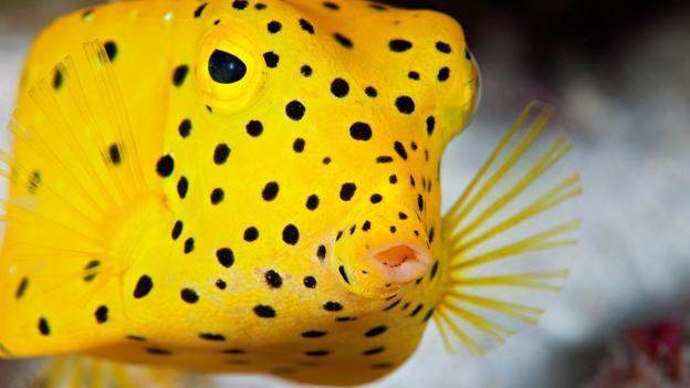Cá nóc hòm trán dô vàng có màu sắc rất bắt mắt khi còn nhỏ nhưng nhạt dần khi trưởng thành và sở hữu những chấm đen khắp cơ thể