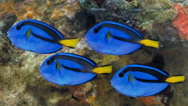 Cá tang xanh thường có màu vàng pha đốm xanh khi còn nhỏ và sở hữu sắc xanh sống động khi trưởng thành. Loài cá này được mệnh danh 'bác sỹ màu xanh'