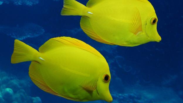 Cá tang vàng thường được nuôi trong các bể nước mặn vì màu sắc rất sáng sủa, có khuynh hướng nhạt dần về đêm và bản tính linh động, hiền lành