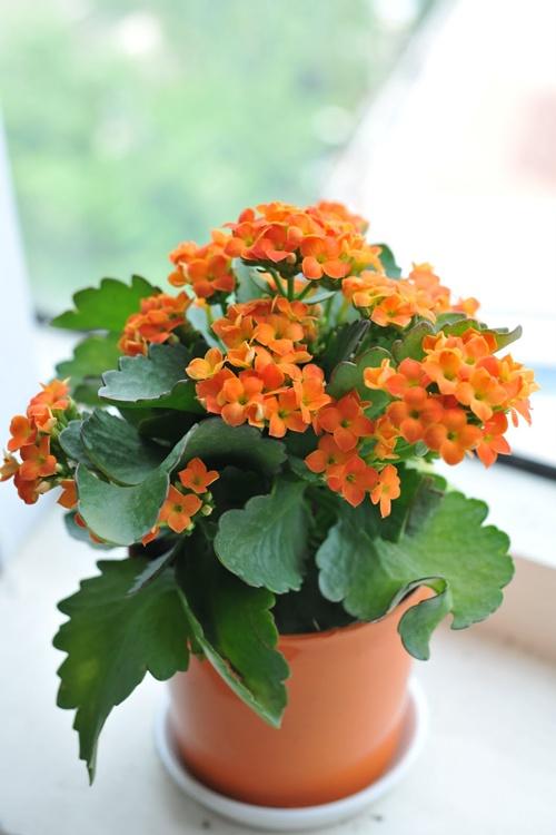 Hoa sống đời nhỏ nhắn, xinh xinh rất hợp trang trí Tết đầu năm mới