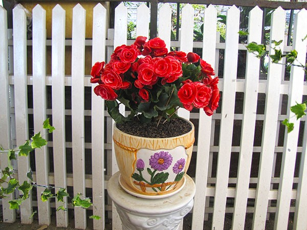 Trang trí Tết bằng hoa hải đường thể hiện sự giàu sang, phú quý
