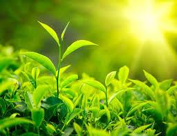 trà xanh có hiệu quả chống nắng