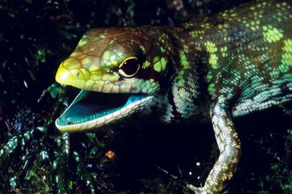 Nồng độ cao Biliverdin đã áp đảo màu đỏ của hồng cầu khiến máu loài thằn lằn ở New Guinea biến thành màu xanh. Ảnh: Dailymail.