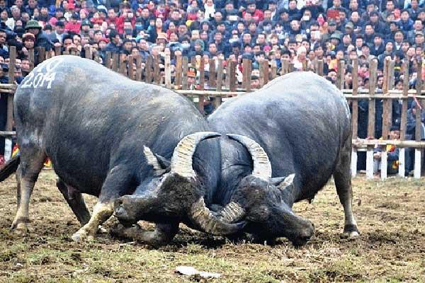 Lễ hội chọi trâu Vĩnh Phúc: Sẽ không còn giết mổ châu trọi để bán?