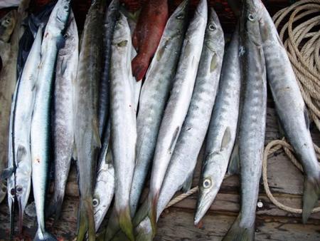 Các loài cá nhiễm độc tố Ciguatera như cá nhồng, cá chình, cá hồng đang có nguy cơ gia tăng