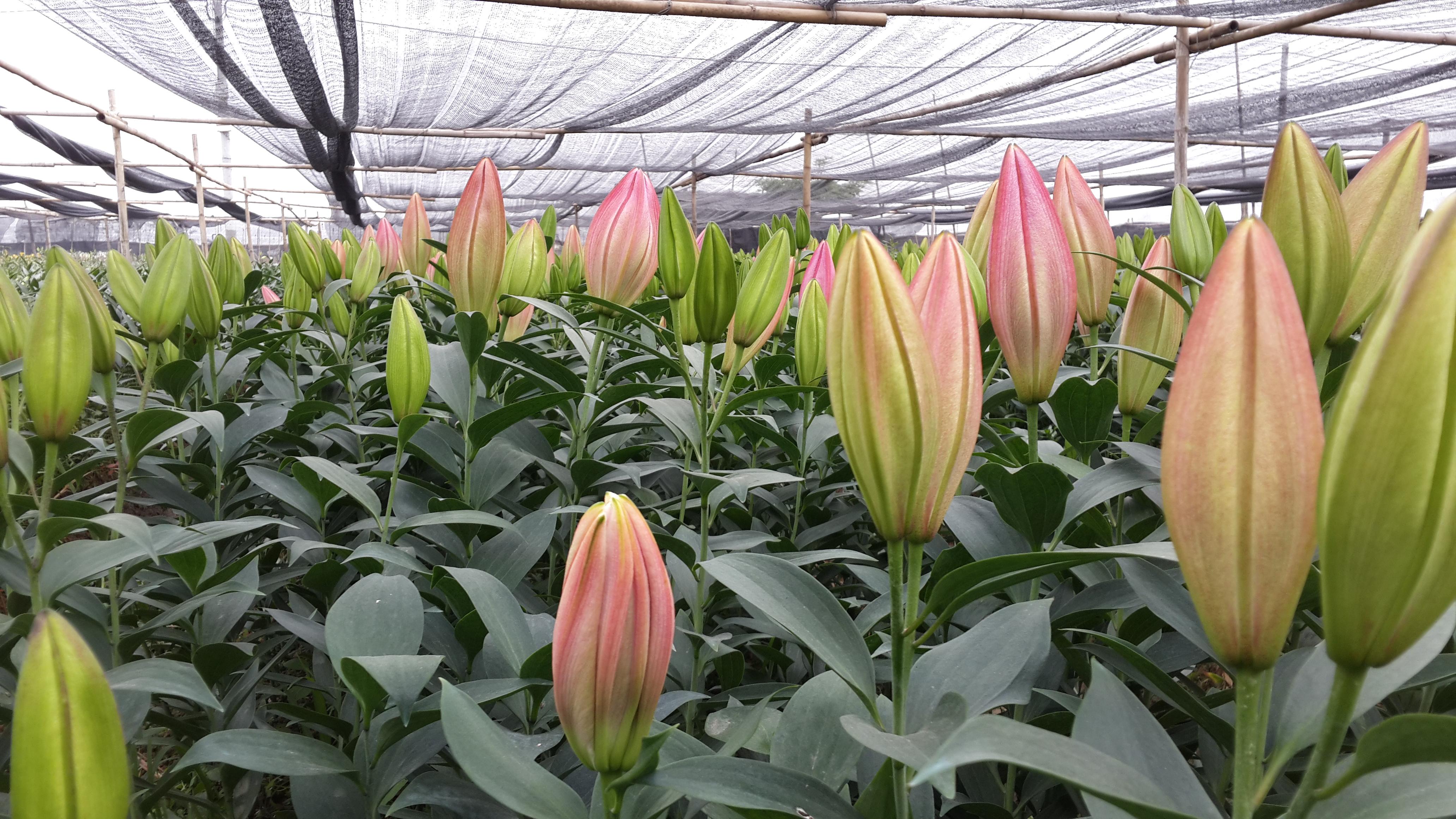 Cách giữ hoa ly tươi lâu là nên bảo quản hoa ở nhiệt độ càng thấp càng tốt