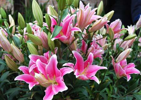 Có thể pha thêm dung dịch dinh dưỡng thay nước cho bình hoa giúp hoa nở đẹp, tươi lâu