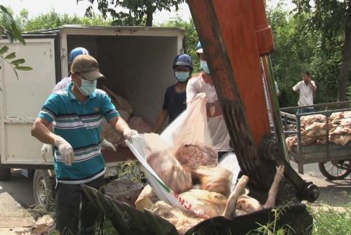 1,5 tấn thịt lợn hôi thối, đang phân hủy bị phát hiện và tiêu hủy tại tỉnh Đông Tháp