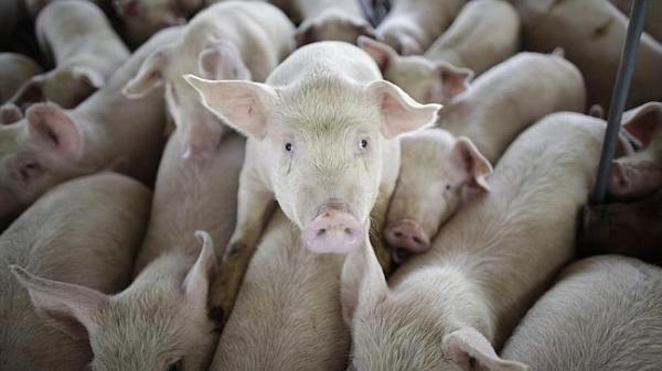 Thịt lợn nhiễm hóa chất trong thuốc diệt chuột có thể được bán hợp pháp tại Úc